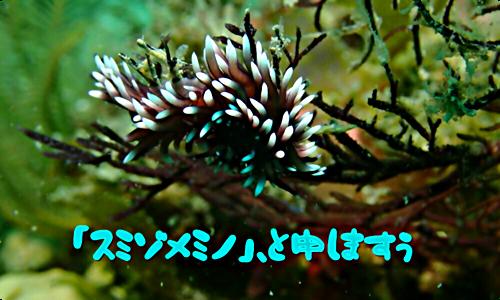画像 【広島湾の水中散歩】9.スミゾメミノウミウシのお話