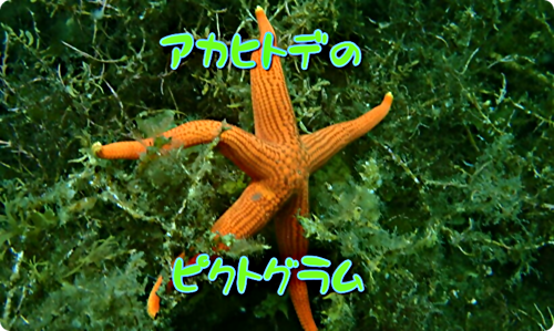 画像 【広島湾の水中散歩】10.アカヒトデのお話