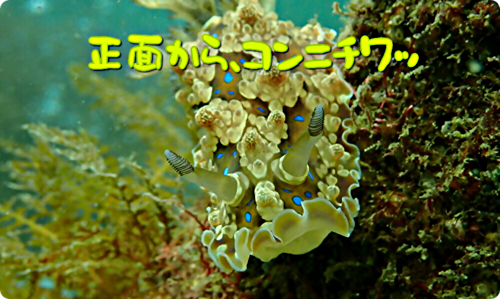 画像 【広島湾の水中散歩】12.ミヤコウミウシのお話