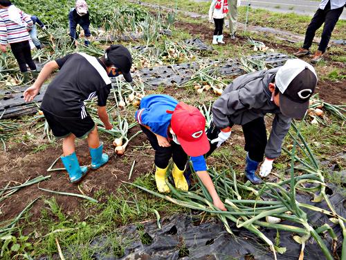画像 mikke タマネギ掘り&サツマイモ植え付け 2021.6.5